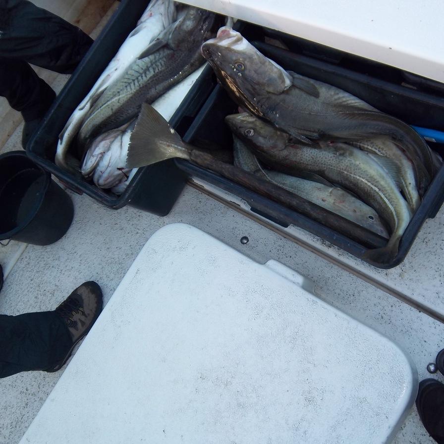 De retour de la pêche à la morue. Stamsund, Lofoten. Avril 2012