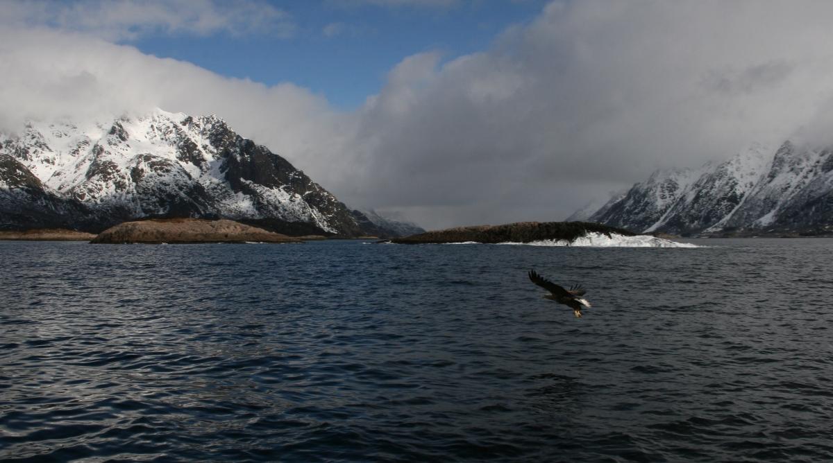 L'aigle des Lofoten, Norvège