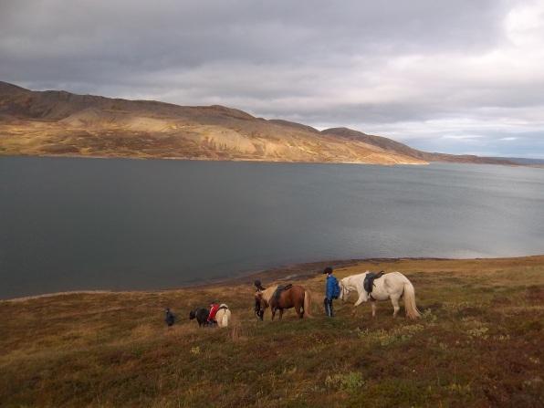 Chevaux islandais, Holmavic, Islande, septembre 2012