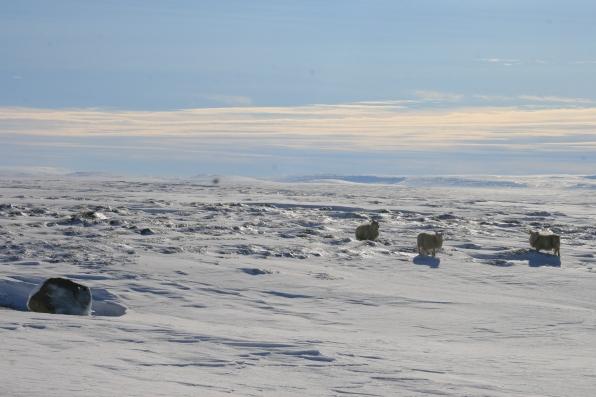 Moutons dans la neige, Islande, septembre 2012