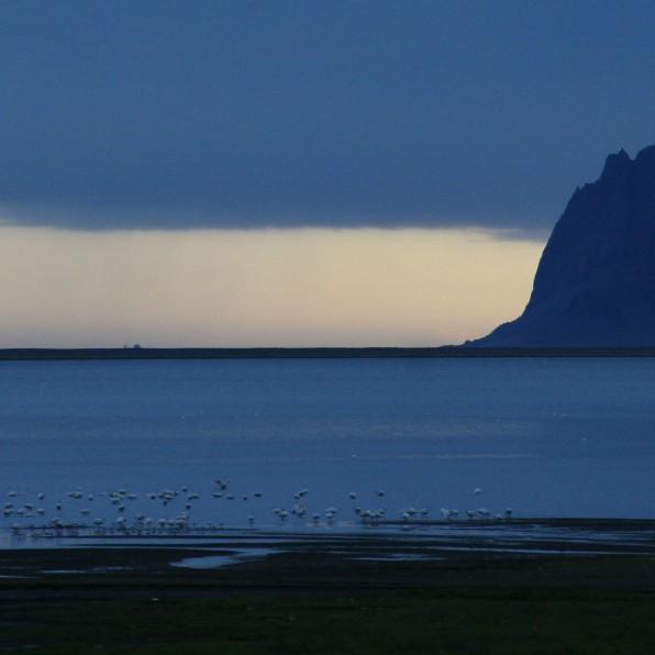 Cygnes dans les fjords de l'Est (Islande, septembre 2012)