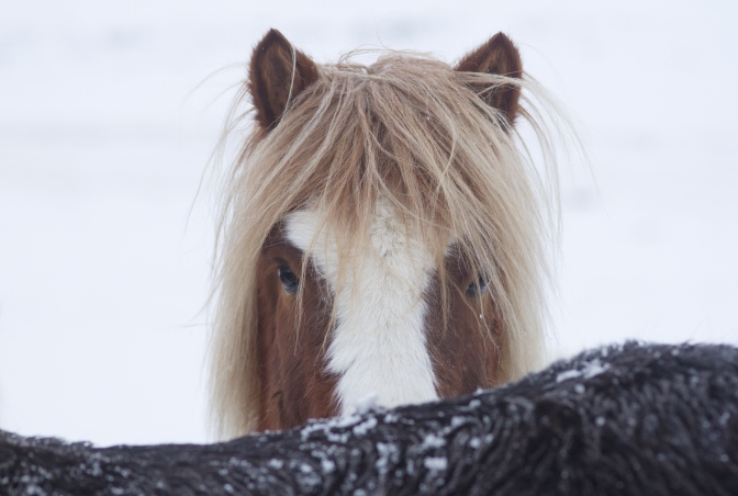 cheval islandais timide