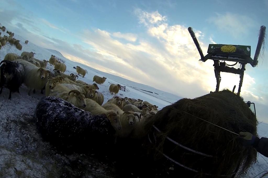 Mouton sous la neige islande