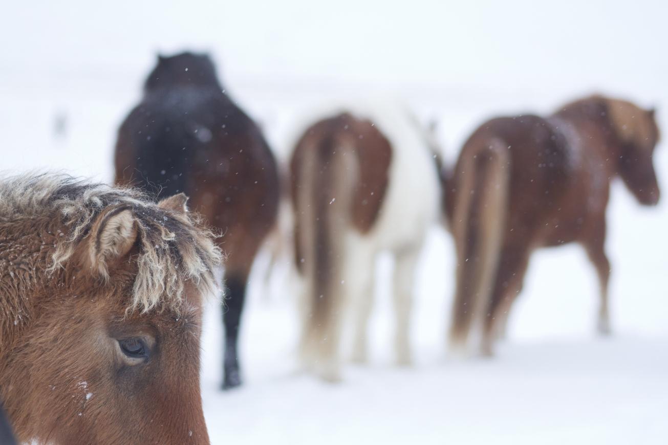 Poulain islandais dans la neige