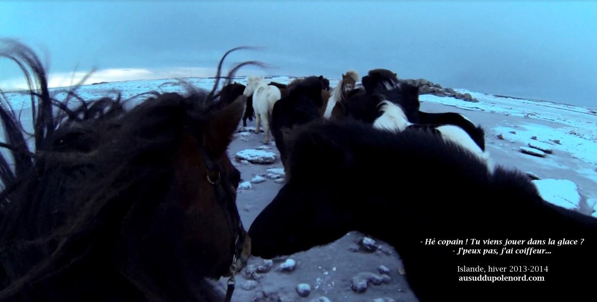 Chevaux islandais ocean gele