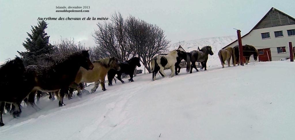 Troupeau chevaux islandais