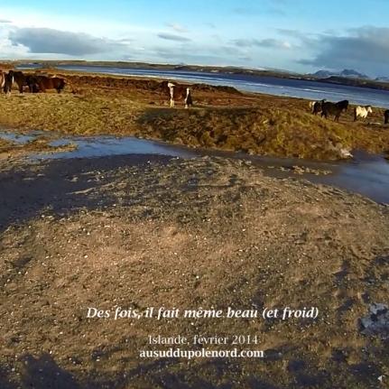 cheval islandais en troupeau