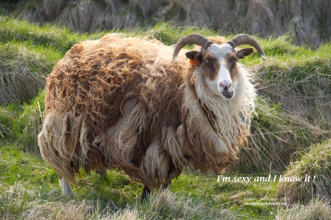 Crazy icelandic sheep