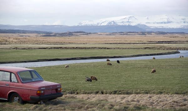 mouton islandais web