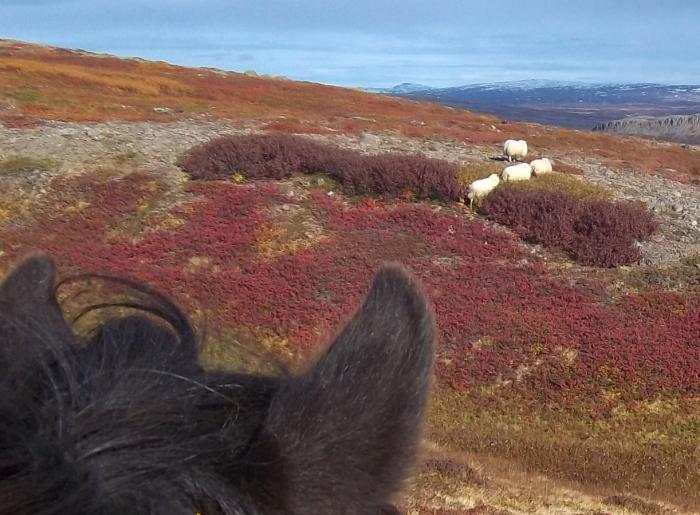 balade à cheval en Islande
