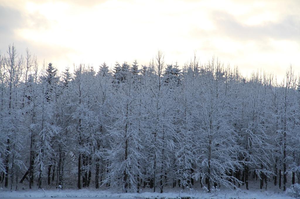 Islande forêt neige arbres